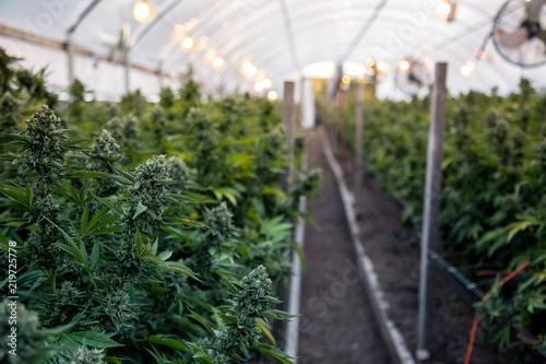 Photo A close up of the marijuana farm industry