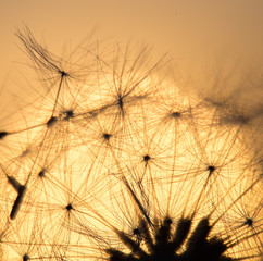 Dandelion silhouette against sunset with seeds