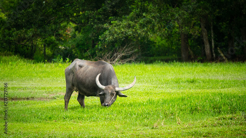 The buffalo in the countryside of Thailand eats grass in the field of agriculture and livestock concept.