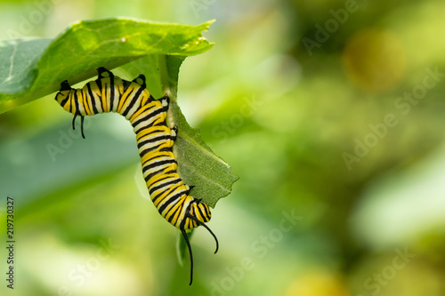 Cuadros en Lienzo  Monarch butterfly caterpillar eating milkweed - Danaus plexippus