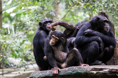 Photo Chimpanze