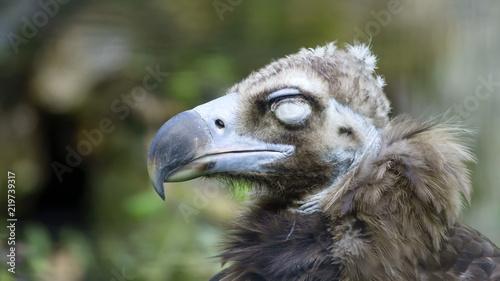 Photo sur Toile Croquis dessinés à la main des animaux Bird scavenger vulture