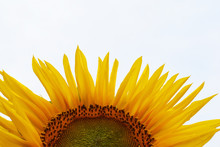Half Of Sunflower Helianthus Annuus With Yellow Petals After Rain On Clear White Sky Background With Copy Space For Text.