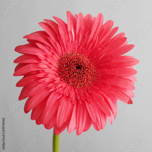 Foto op Plexiglas Gerbera Pink gerbera close-up on a gray background.