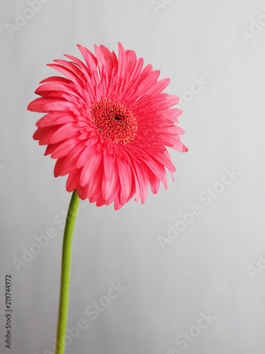 Foto op Canvas Gerbera Pink gerbera close-up on a gray background.