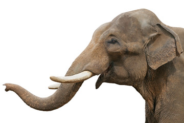 Head of an elephant, isolated