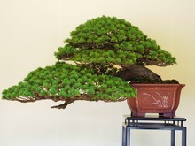 Bonsai Tree,Japan