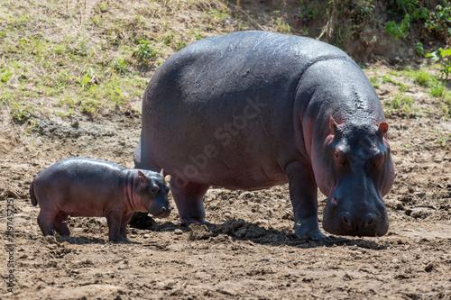 Photographie Hippo (Hippopotamus amphibius)