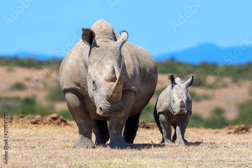 Photo sur Toile Rhino African white rhino