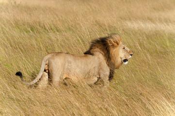 Fototapeta Zwierzęta Lion male in National park of Kenya