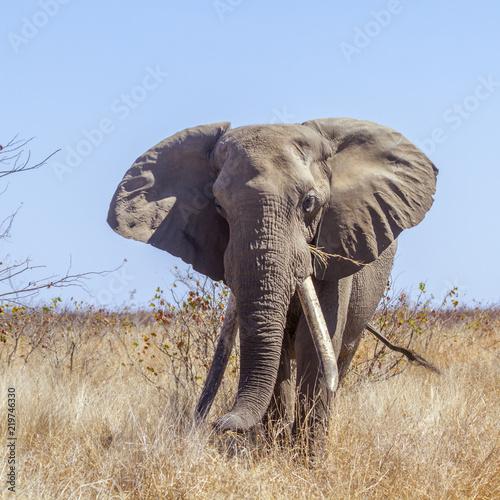 Zdjęcie XXL Afrykański krzak słoń w Kruger parku narodowym, Południowa Afryka; Specie Loxodonta africana rodzina Elephantidae