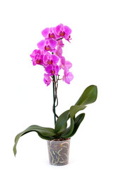 Isolated phalaenopsis orchid in pot on white background. Home and garden concept.