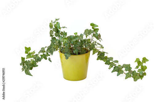 Canvas Print Isolated ivy in brown pot on white background