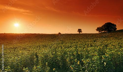 Poster Baksteen Sunflowers field in Bourgogne country