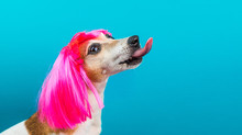 Funny Dog Jack Russell Terrier Profile In Pink Wig On Blue Background Licking.