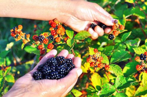 Fotografie, Obraz Hands picking blackberries during main harvest season