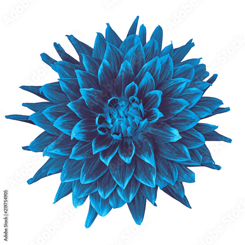 flower cerulean blue dahlia isolated on white background. Close-up. Element of design. Nature.