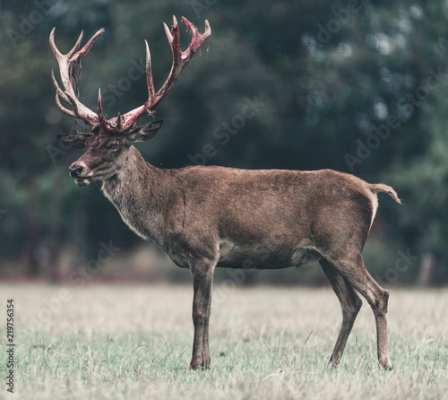 Red deer buck with swept bloody antler standing in meadow.