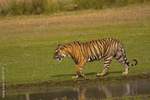 Fotografie, Obraz  Tiger, Panthera tigris tigris, Pacman, Ranthambhore Tiger Reserve, Rajasthan