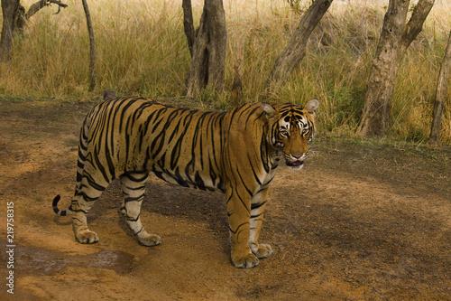 Plakat Tiger, Panthera tigris tigris, Pacman, Rezerwat tygrysów Ranthambhore, Rajasthan