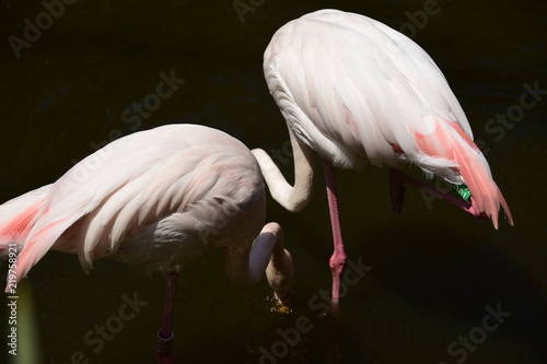 Foto op Aluminium Flamingo Flamingo animal Zoo
