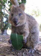 Happiest Animal On Earth-Quokka-Setonix Brachyurus Feeding On Rubber Fig Leave At Rottnest Island, Western Australia