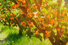 Apricot Trees With Ripe Aprico...