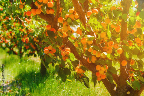 Fotomural Apricot trees with ripe apricots on a farm