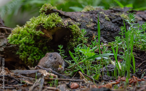 Fotomural  Vole rodent in forest