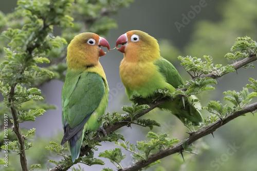 Poster Natuur Lilian's lovebird - Nyasa-agapornis
