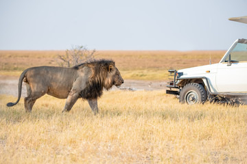 African lion  and safari jeep in  Botswana,Africa