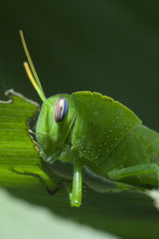 Macro Cavalletta Verde