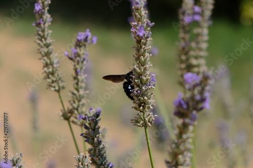 In de dag Lavendel Lavande en Occitanie