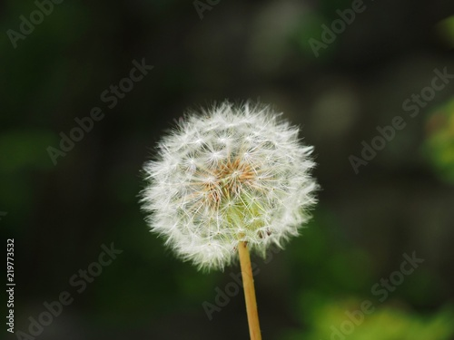 dandelion with white seeds