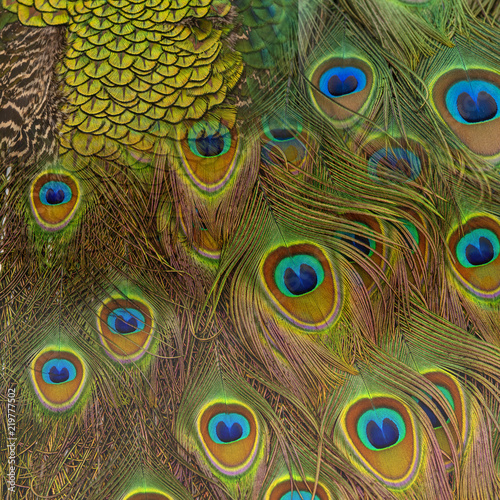 Foto op Aluminium Pauw Closeup peacock feathers for background (Green peafowl)