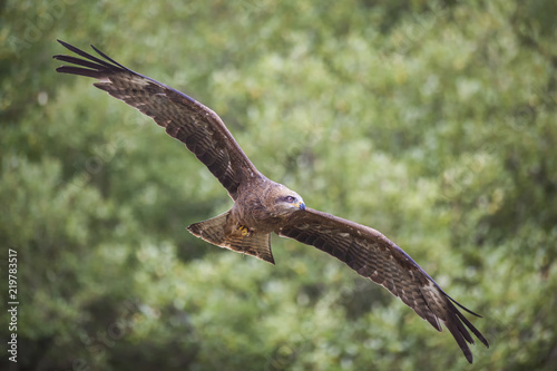 Black Kite (Milvus migrans) flying with spread wings in flight