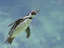 Humboldt Penguin (Spheniscus H...