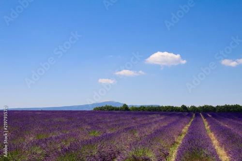 Staande foto Aubergine Lavandes et Mont Ventoux