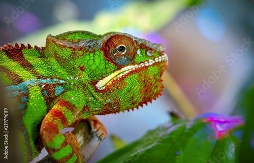 Staande foto Kameleon closeup lizard chameleon