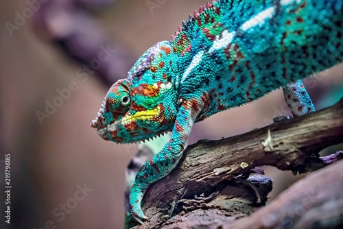 motley lizard chameleon closeup