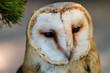 A cute Little Barn Owl outdoors