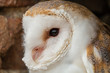 A cute little Barn Owl hiding in a hole in a brick wall