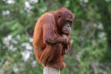 Orangutan Sitting Perched On A...