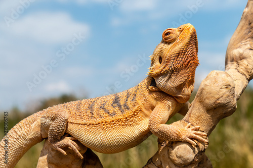 A relaxed Bearded Dragon lizard basking in the sunshine on an outdoor tree branc Tableau sur Toile