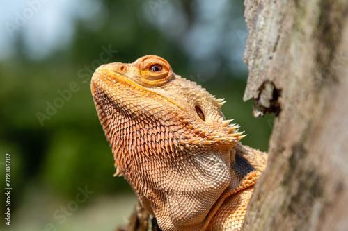 Fotografija A relaxed Bearded Dragon lizard basking in the sunshine on an outdoor tree branc