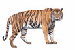 Tiger action on white background.