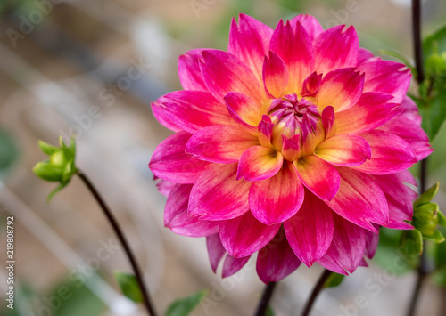 Valokuva Pink and yellow dahlia macro