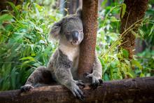 Koala Bear Cute.