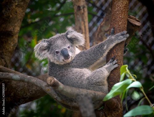 Canvas Prints Koala koala bear cute.