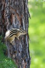 Chipmunk On The Tree